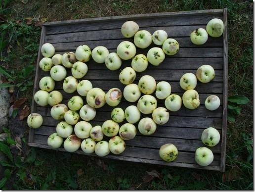 gomel manzanas